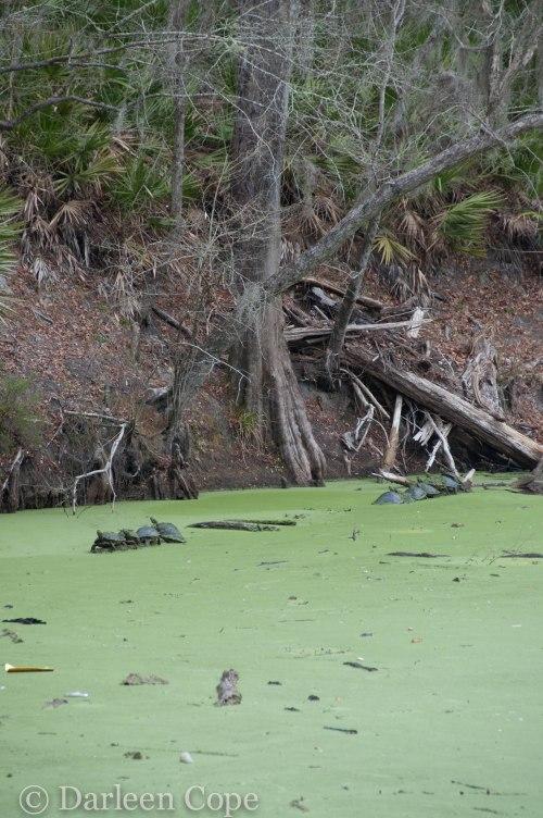 O'Leno State Park February 2015-8